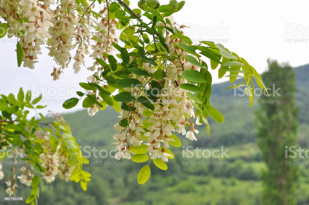 Acacia Tree Flowers Blooming In The Spring Stock Photo More