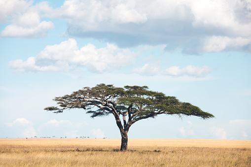 African savannah with typical tree (umbrella thorn acacia). Serengeti National Park, Tanzania, Africa.