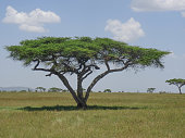 Typical african picture with an acacia tree in the grasland or savannah. For eagle-eyed viewers: there is a leopard in the tree.