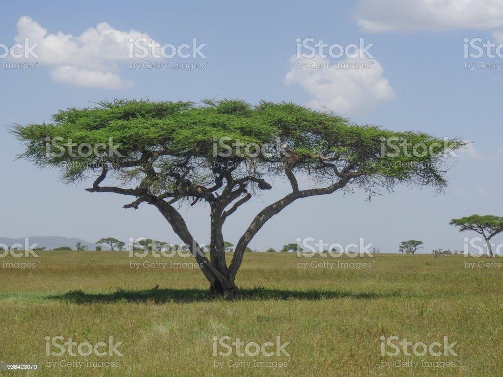 Acacia tree in african savanaah stock photo