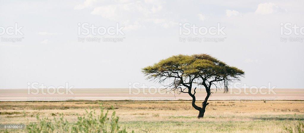 Acacia Tree in Etosha, Namibia stock photo