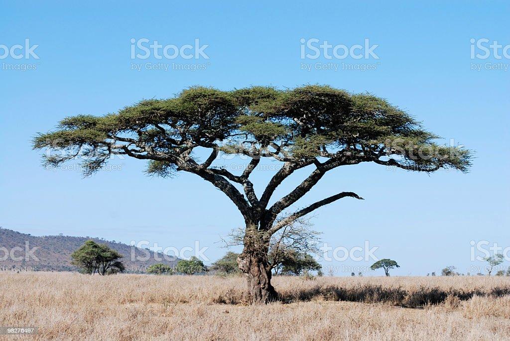 acacia tree in serengeti national park, tanzania, east africa royalty-free stock photo