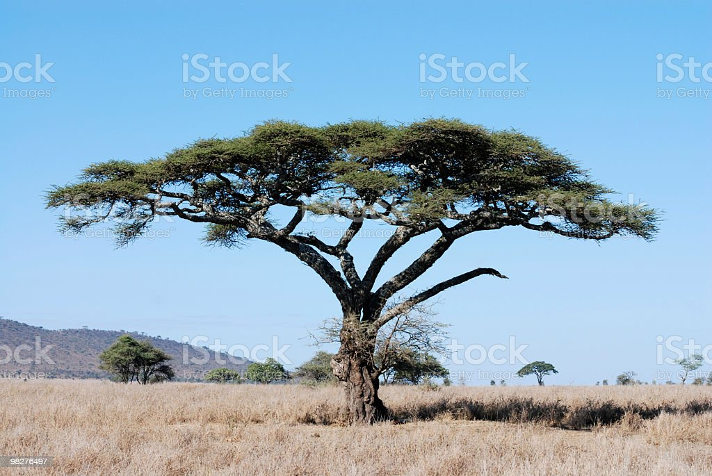 acacia tree in serengeti national park, tanzania, east africa stock photo