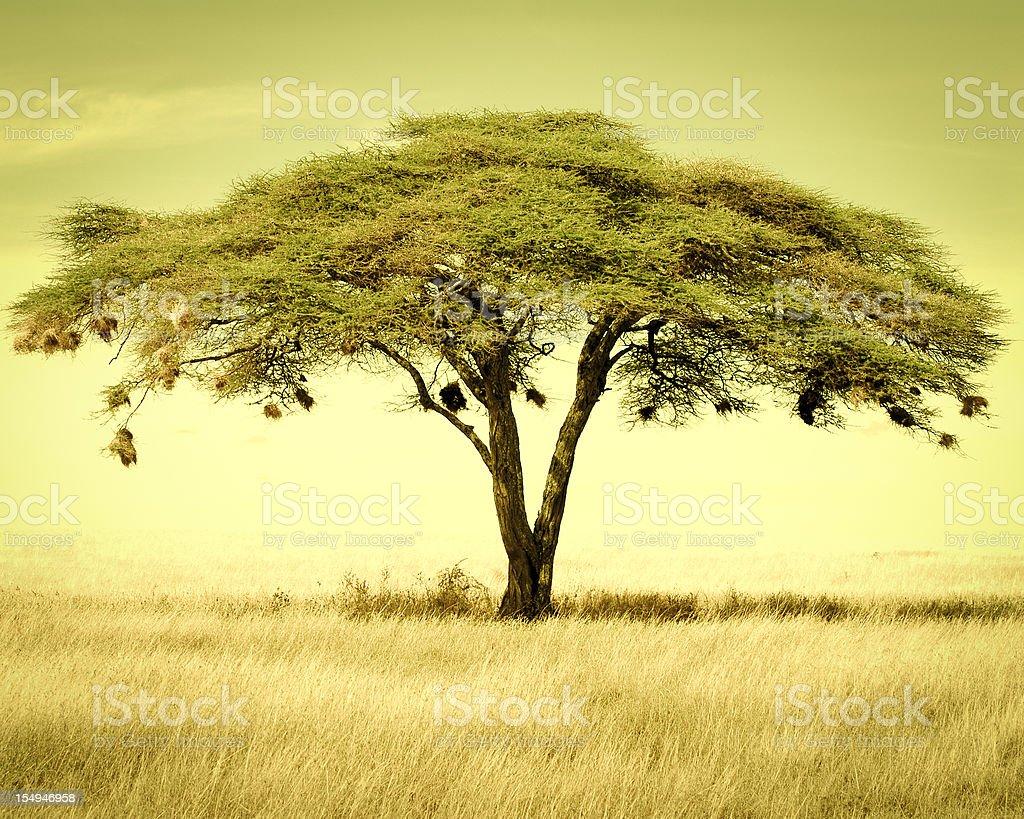 Acacia tree in the dry season, Serengeti National Park,Tanzania stock photo