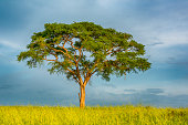 A lonley Acacia tree in the green Savanna of East Africa. Location: Murchison Falls National Park, Uganda.
