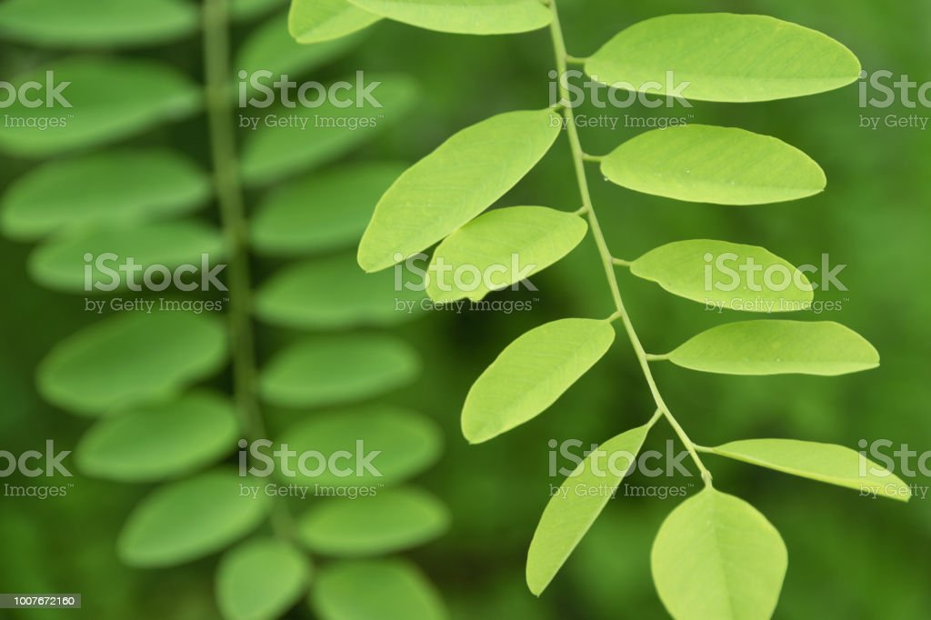 Acacia Tree Leaves Stock Photo More Pictures Of Abstract Istock