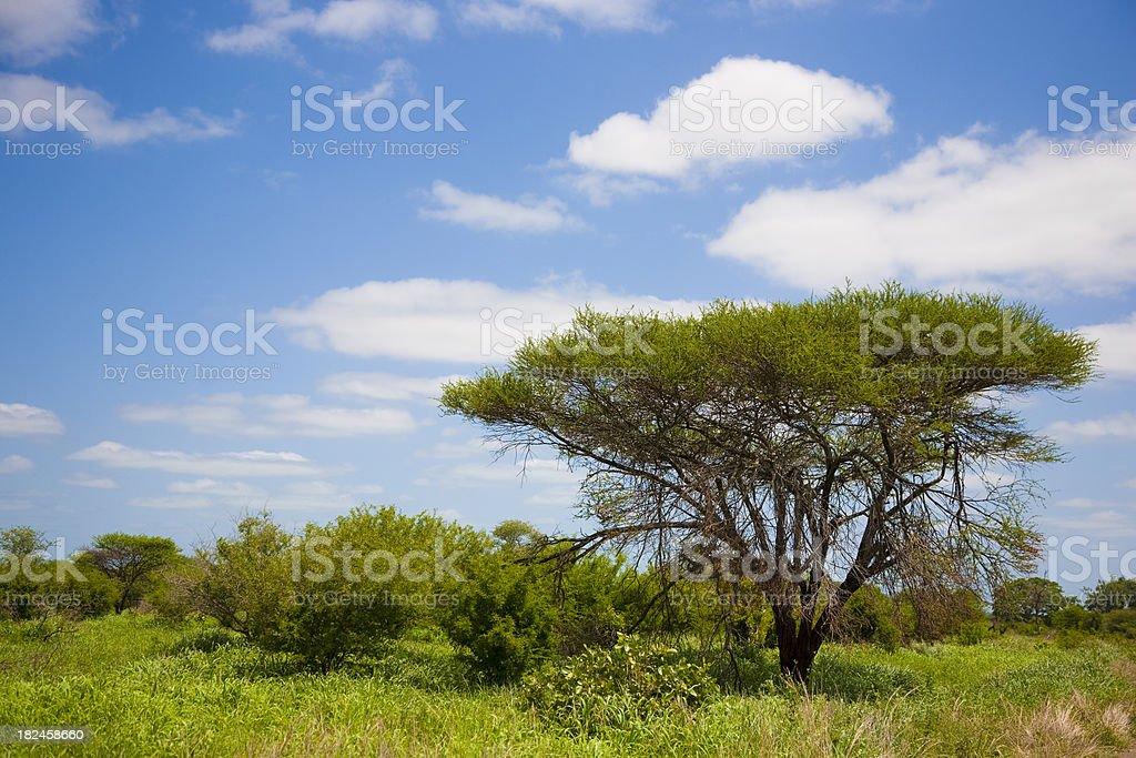 Mimosa foto de stock libre de derechos