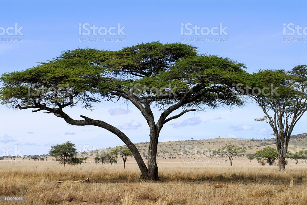 Acacia trees in savannah of Serenget National Park,Tanzania stock photo