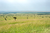 Acacia trees in the green plains of the huge Serengeti - Masai Mara eco system - the image was taken right at the border between Kenya (Masai Mara) and Tanzania (Serengeti). In the month after the rainy season the grass is green and attracts large herds of animals,\