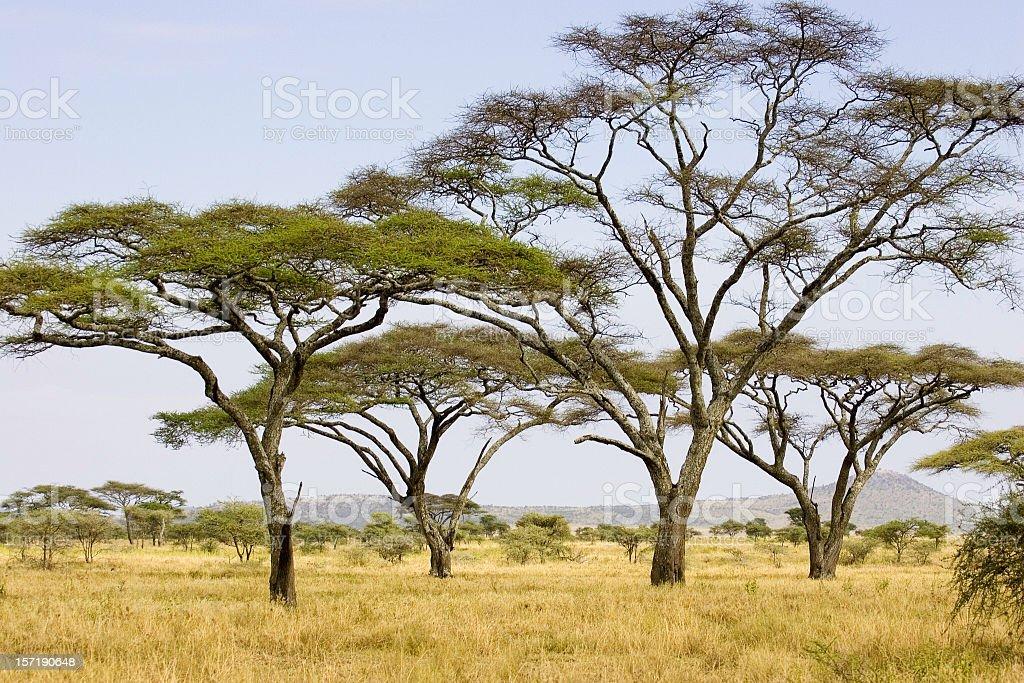 Acacia Trees on the Serengeti plains low horizon during summer stock photo