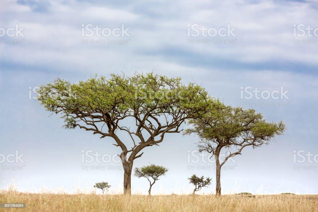 Acacia tress in the Masai Mara stock photo