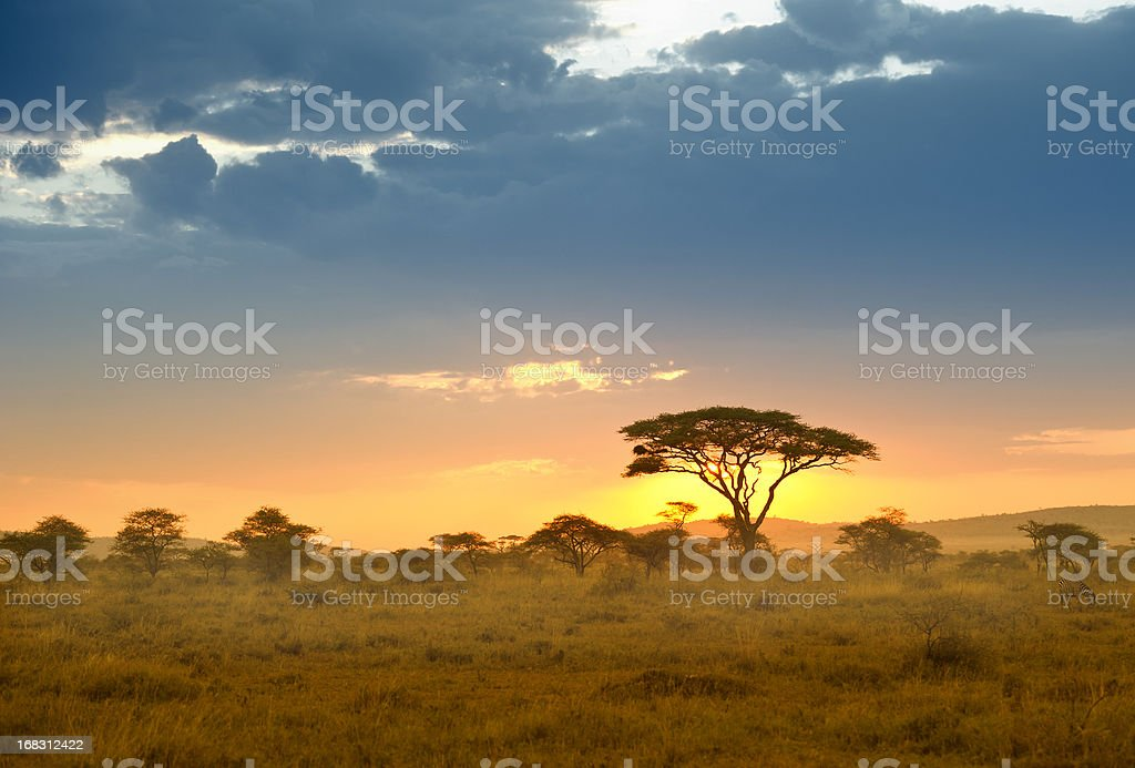 Acacias in the late afternoon light, Serengeti, Africa stock photo
