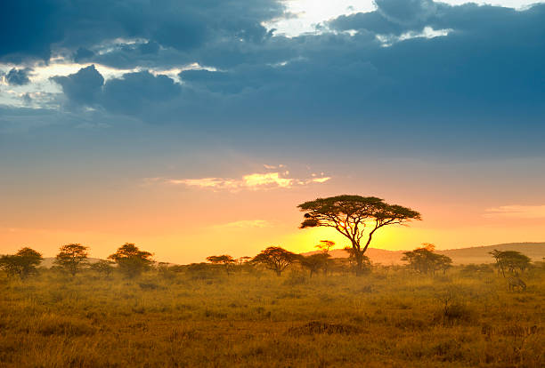acacias in the late afternoon light, serengeti, africa - safari stock photos and pictures