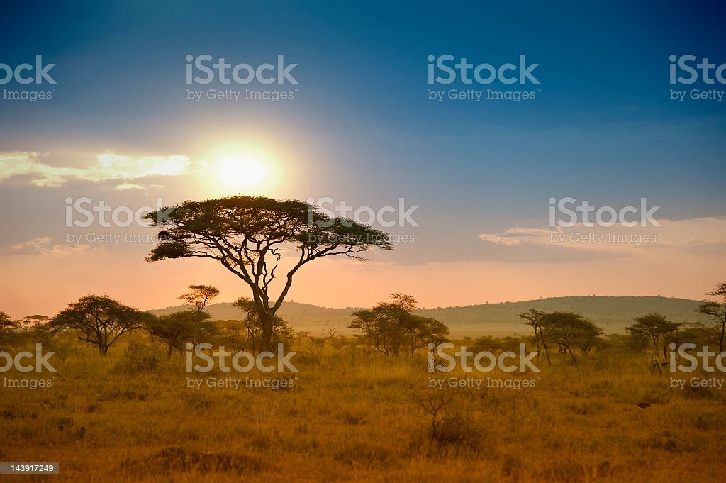 Acacias trees in the sunset in Serengeti, Africa stock photo