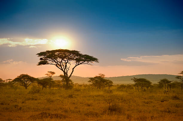 acacias trees in the sunset in serengeti, africa - safari stock photos and pictures