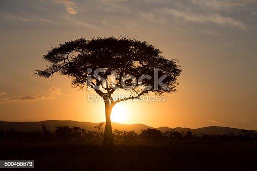 Acacia-tree in the Serengeti Nationalpark Tanzania. Typical scenery for african savanna and landscape. Feeling of  Safari.