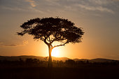 Acacia-tree sunset in the Serengeti Nationalpark