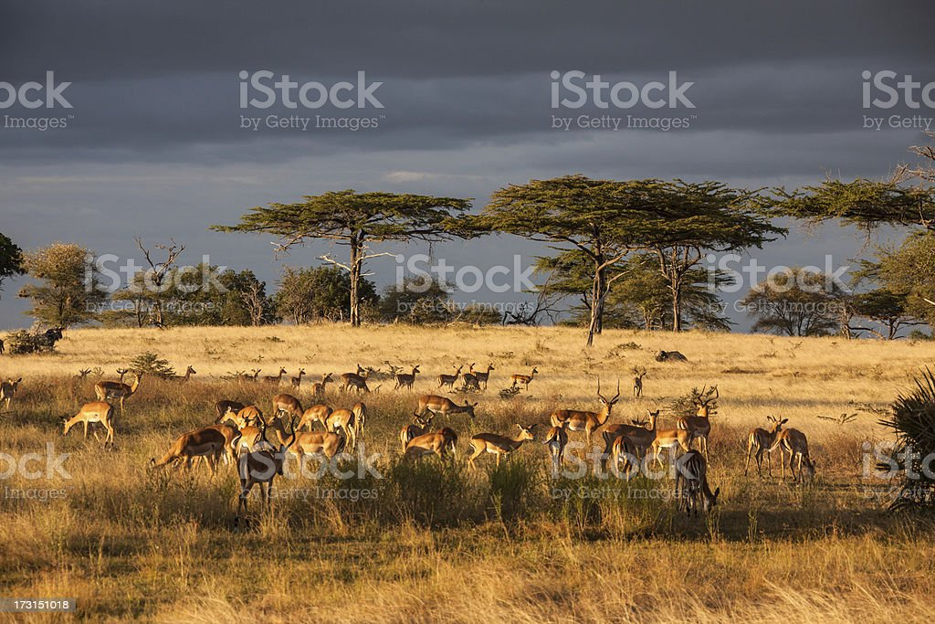 Acacia-trees in the Serengeti Nationalpark with dramatic clouds stock photo