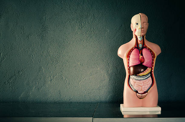 academic model of human body - human intestine stock photos and pictures