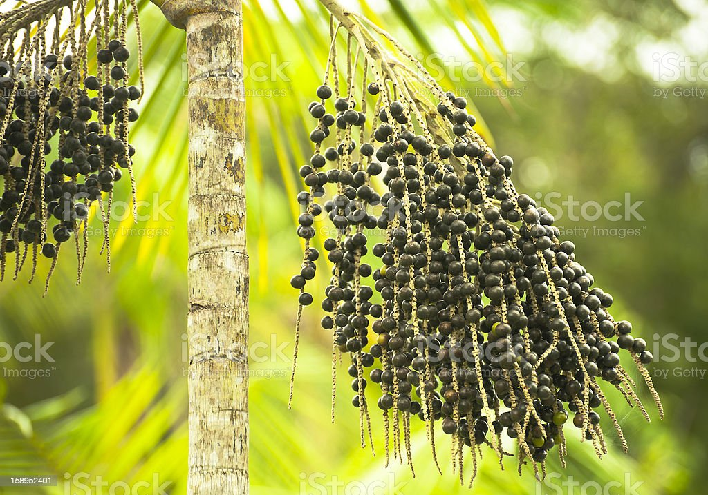 Acai Palm Euterpe Oleracea with black berries stock photo