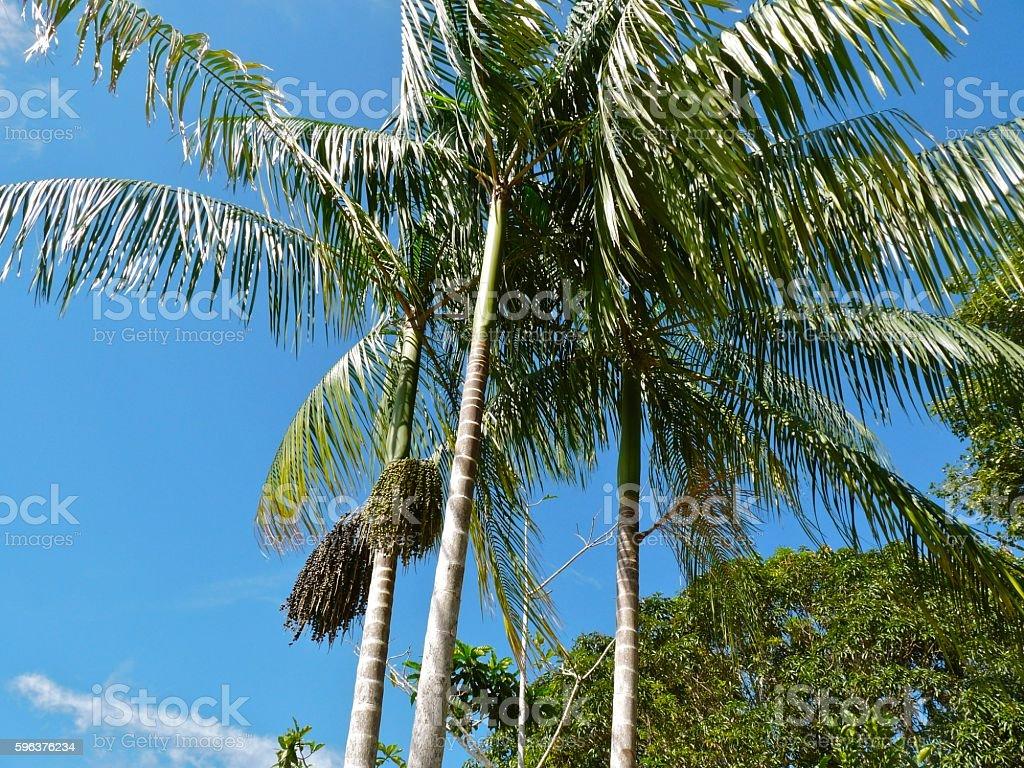 Acai Trees stock photo