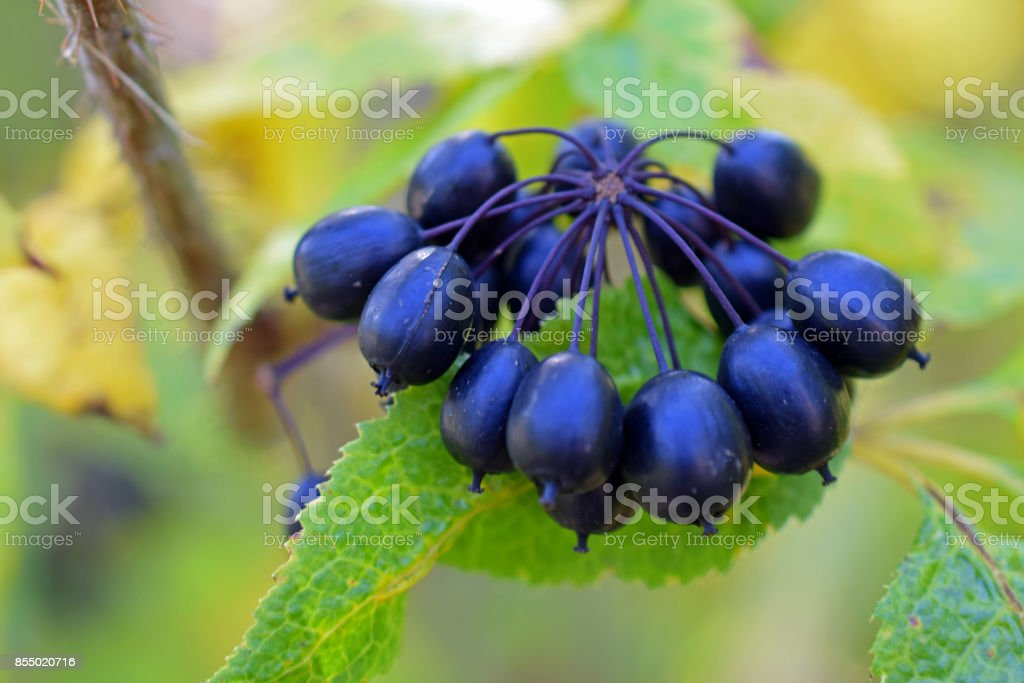 Acanthopanax Senticosus, also called Siberian Ginseng stock photo
