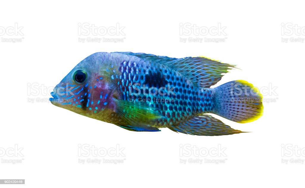 Acara Cichlid Fish. Nannacara Neon Blue stock photo