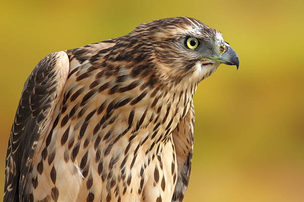 accipiter nisus over out of focus background foto