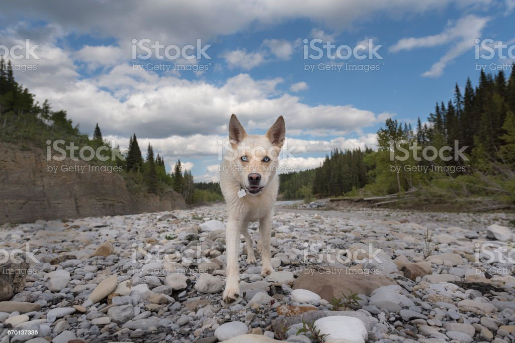 Ace the blue eyed rescue dog walks towards camera with collar and tags on stock photo
