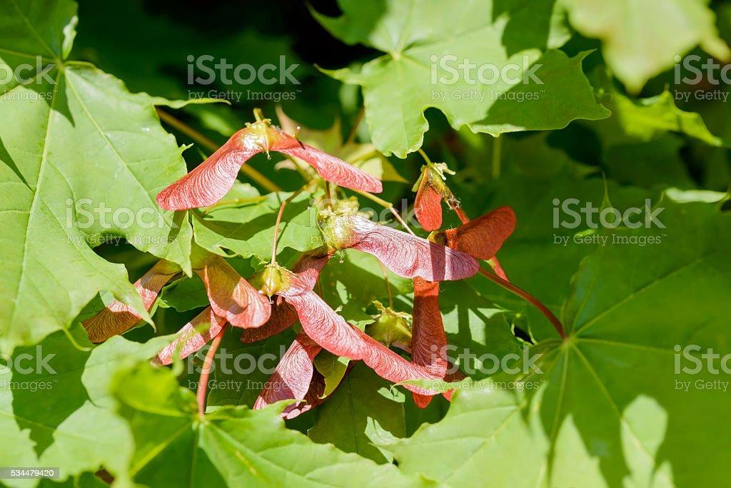 Acer Circinatum Samara stock photo