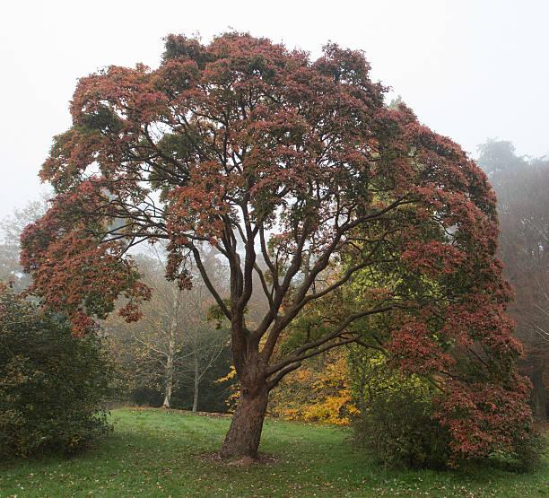 Acer Grisum im Herbst Farbe – Foto