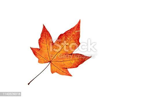 Single autumn Acer leaf  isolated on white backgroind