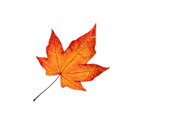 Acer leaf Single autumn Acer leaf  isolated on white backgroind autumn leaf color stock pictures, royalty-free photos & images
