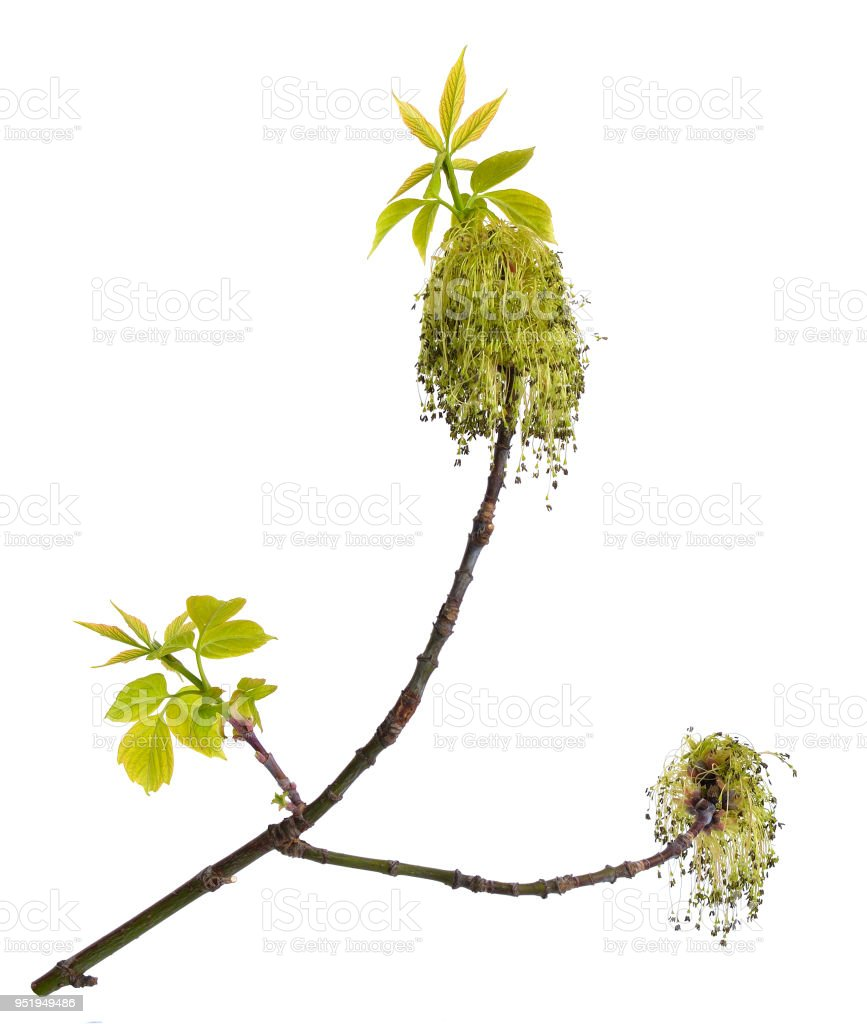 Acer negundo or Manitoba, occasionally, elf maple. Box elder, boxelder, ash-leaved, ash or ashleaf maple. Twig with flowers. ISolated stock photo