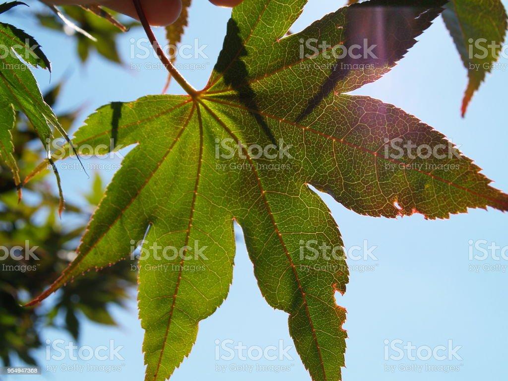 Acer palmatum - Acero - foto stock