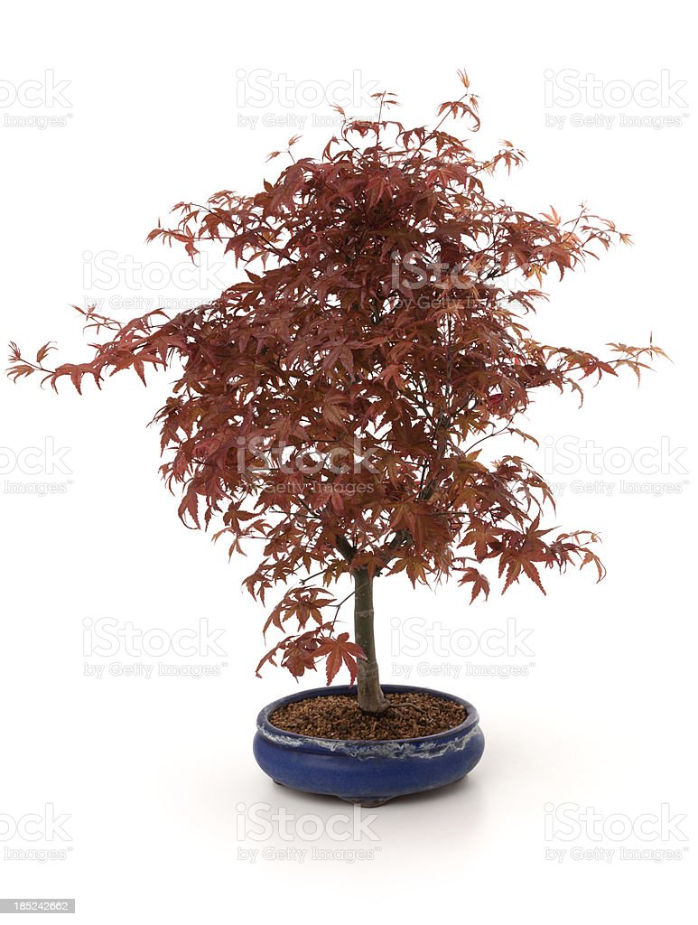 Acer Palmatum bonsai stock photo