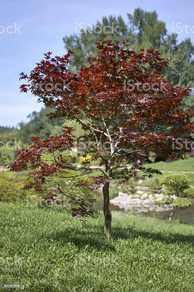 Acer palmatum Fireglow royalty-free stock photo