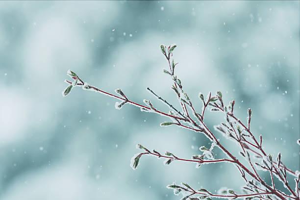 Acer Palmatum Japanese Maple Tree stock photo