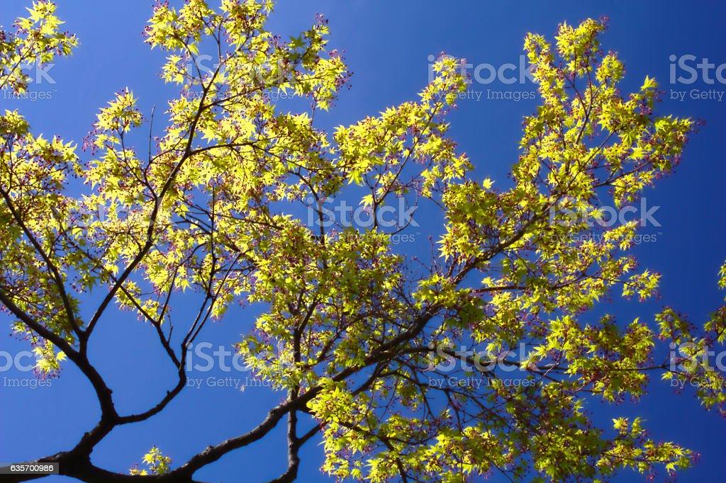 Acer Palmatum Katsura and blue sky royalty-free stock photo