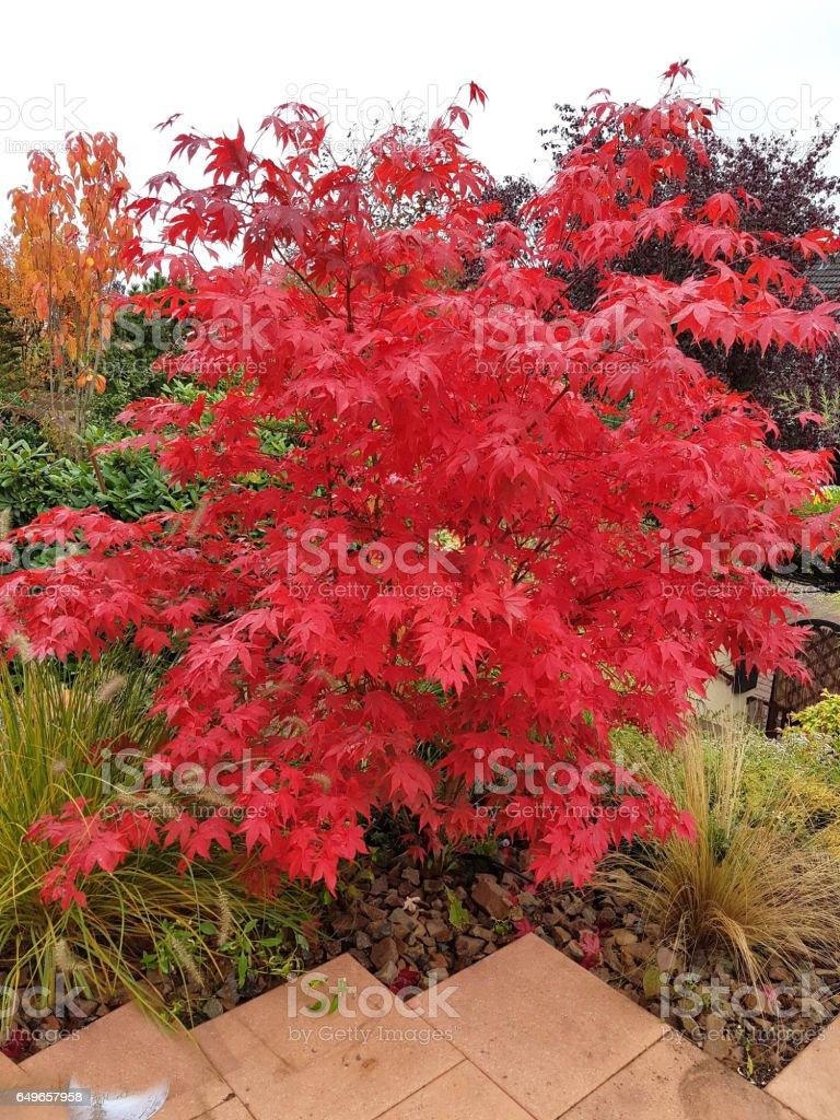 Acer, palmatum, Osakazuki, japonicum; Japanese stock photo