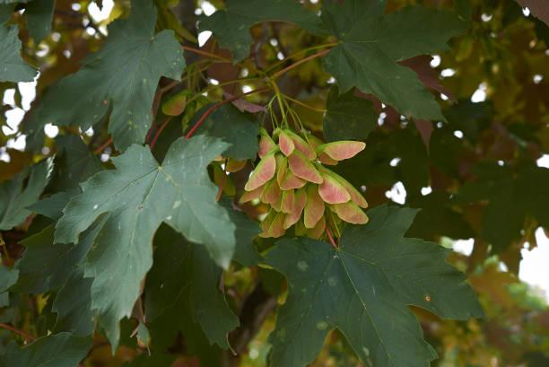 Acer pseudoplatanus atropurpureum Acer pseudoplatanus atropurpureum close up sycamore tree stock pictures, royalty-free photos & images