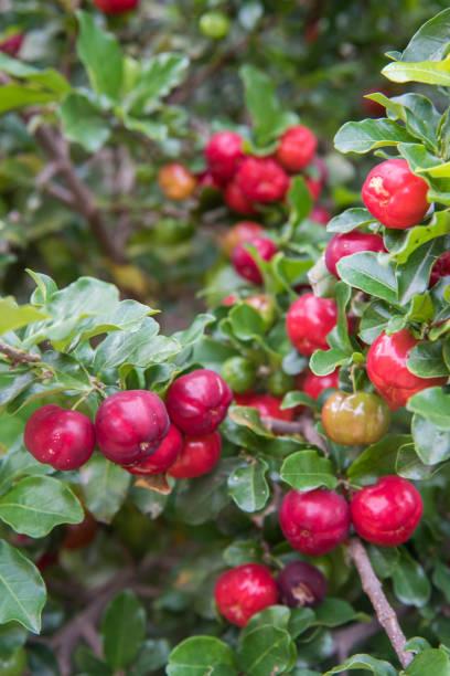Acerola fruit tree – Foto