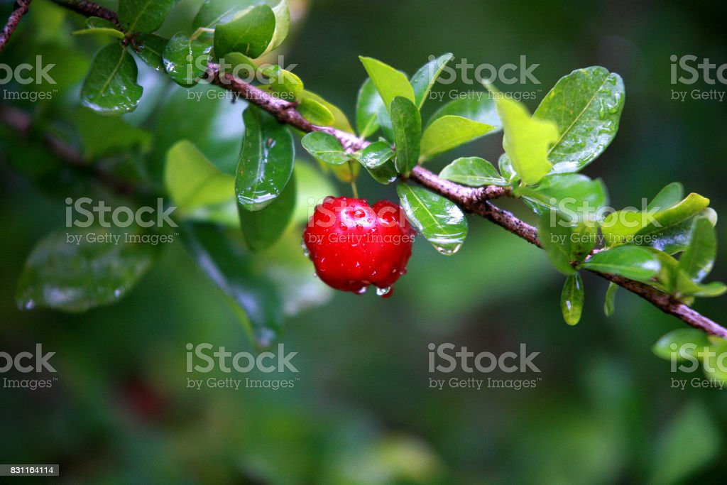 Acerola stock photo