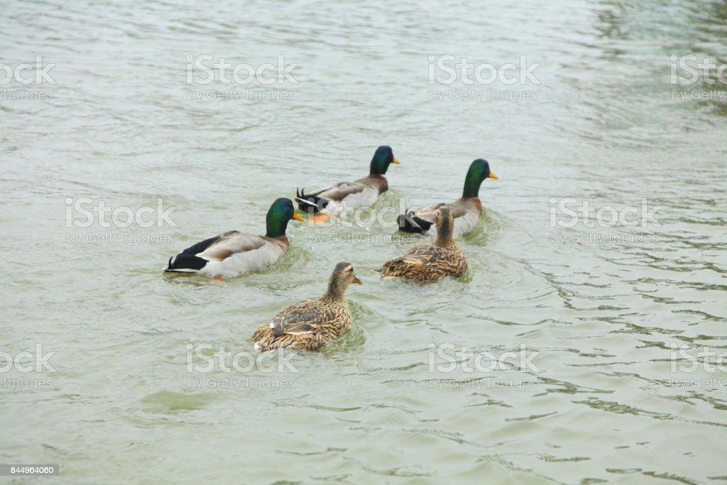 Achene West Lake duck stock photo