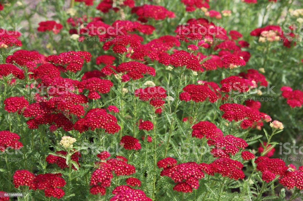 Achilea Milefolium Flower stock photo