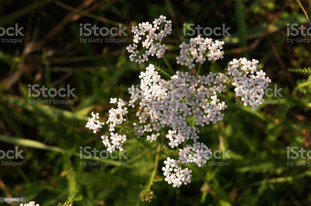 Achillea millefolium or yarrow white flowers with green stock photo