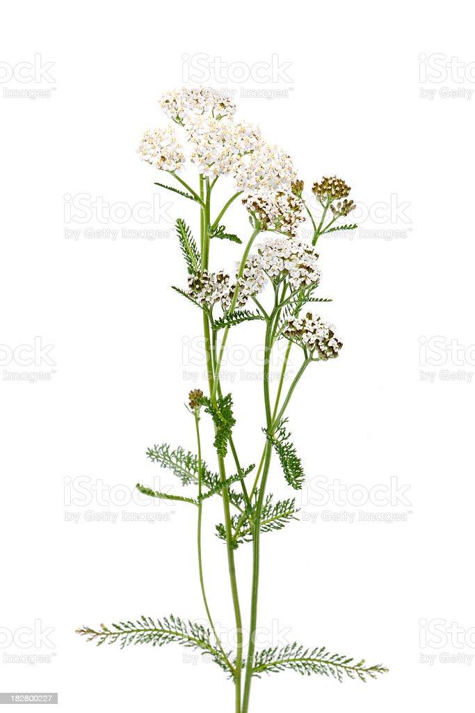 Achillea millefolium royalty-free stock photo