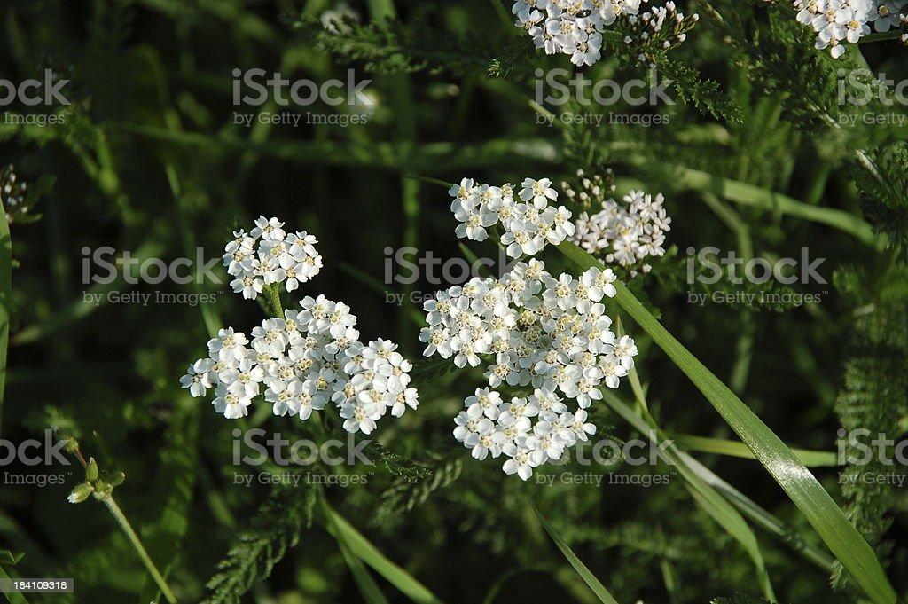 Achillea millefolium stock photo