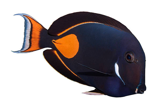 Achilles Tang isolated on white stock photo