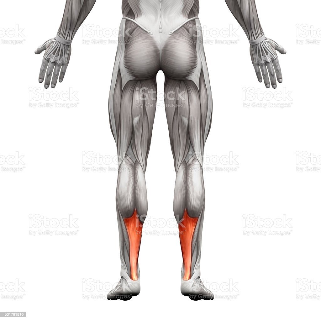 Achilles Tendon Anatomy Muscle Isolated On White Stock Photo & More ...